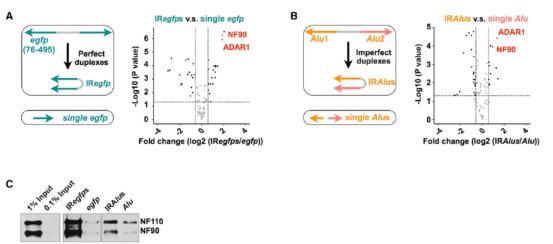 NF90通过结合反向互补RNA元件促进circRNA生成(来自[1]) 基于上述结果,作者认为NF90是通过结合并稳定反向互补RNA序列促进circRNA形成的,尤其是富含AU的反向互补序列(例如Alu元件)。于是作者进一步构建了NF90的不同截短型,分别分析了对circRNA生成的影响,这些突变型对富含AU的反向互补序列影响较明显,而对于circRBM33(反向互补的内含子不含有富AU元件)在不会受到太明显的影响。  图6 NF90通过结合富含AU的反向互补RNA元件促进circRNA生成(来自[1])